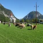 Alle koeien bijeen